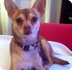 Feature CHIHUAHUA-of-the-day: KAIDY! Adopt her during the month of April & we will waive your adoption fee as part of our Adopt-a-Chihuahua promotion!