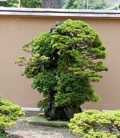 Ezo spruce from Mansei-en nursery, Japan