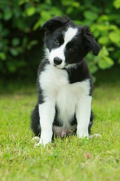 60 Top Border Collie Pictures, Photos and Images - Getty Images - Tiere - Puppies Cute Puppy Breeds, Cute Dogs And Puppies, Baby Puppies, Pet Dogs, Dog Breeds, Doggies, Border Collie Puppies, Collie Dog, Australian Shepherds