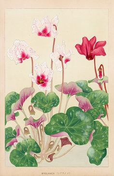 "gardenofthefareast: ""Cyclamen Chigusa Soun Flowers of Japan Woodblock Prints 1900 """