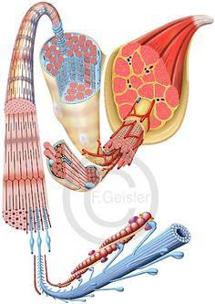 Histologie Muskel mit Muskelfasern und Sarkomer Mehr