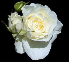 An incredibly beautiful floribunda Iceberg rose and open bud shot in my garden. Dark Flowers, Love Is All, White Roses, Bud, Flower Power, Black And White, Plants, Beautiful, Color