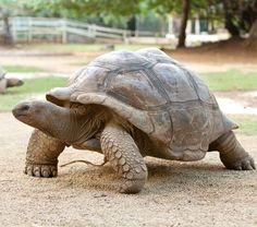 Largest Sea Turtle, Kawaii Turtle, Animals And Pets, Cute Animals, Turtle Swimming, Pokemon Memes, Tortoises, Green Man, Gatos