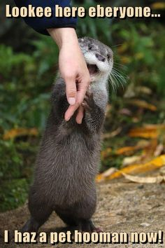 I haz a pet hooman now! #humor #funny Cute Funny Animals, Cute Baby Animals, Funny Cute, Animals And Pets, Otters Funny, Wild Animals, Cute Creatures, Beautiful Creatures, Animals Beautiful