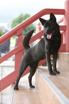 KAI DOG/KAI KEN/KAI INU- This rare Japanese breed sheds, like, never and is totally chill about staying indoors. Also, they've been depicted in anime, which makes them the best. Japanese Dog Breeds, Japanese Dogs, Puppies And Kitties, Doggies, Kai Ken, Rare Dogs, Alaskan Klee Kai, Spitz Dogs, Dog Best Friend