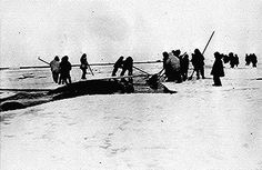 Eskimos harpooning a whale, Point Barrow, Alaska.  Photographed by Stanley Morgan, 1935.
