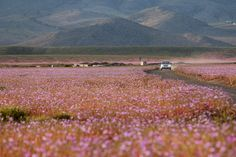 As flores do deserto de Atacama