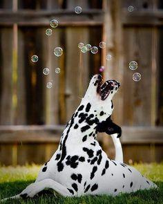 Dalmatian-who doesn't love bubbles?!