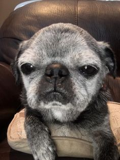 franklin the senior rescue pug