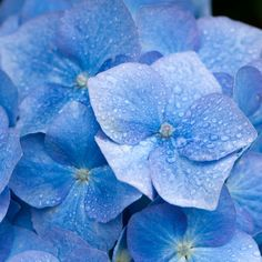 Hydrangea flowers are particularly common to the Azores Islands near Portugal, our fragrance carries a subtle and sweet aroma with a hint of spic