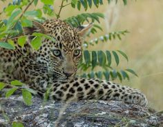 Small cat, big heart by Jaco Marx on 500px #leopard