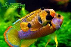 Apistogramma nijsseni Discus Aquarium, Tropical Fish Aquarium, Nature Aquarium, Planted Aquarium, Tropical Freshwater Fish, Freshwater Aquarium Fish, Beautiful Tropical Fish, Beautiful Fish, Saltwater Tank