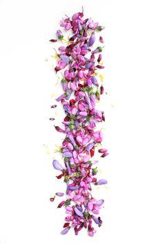 Flores sin abrir de glicinias, malvas y del árbol del amor, pétalos de amapolas y lígulas de diente de león. Ciudad Real