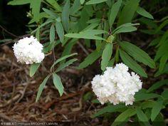 Spiraea cantoniensis  'Flore Pleno' Floraison MJJ 1.80 x 1.60