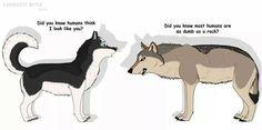 Siberian husky looks like a wolf? What!