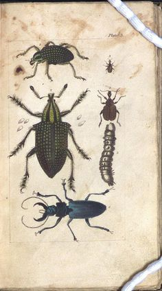 [Curculio imperialis, Attelabus coryli, Cerambyx damicornis] by Library & Archives @ Royal Ontario Museum on Flickr.