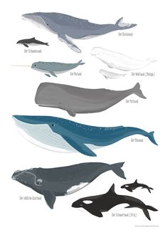 Whales - children& posters, learning posters - fifty-four illustration - # . - Whales – children& poster, learning poster – fifty-four illustration – - Fish Drawings, Animal Drawings, Blue Aesthetic Pastel, Whale Tattoos, Ship Drawing, Marine Conservation, Blue Whale, Animals Of The World, Marine Biology