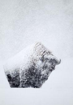 harvestheart:    Snow Covered Buffalo - Photo by Danny Green