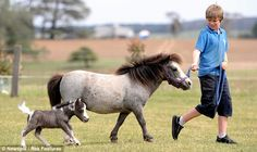 This boy is having the best realtionship with his adorable mini horse! Tiny Horses, Cute Horses, Pretty Horses, Horse Love, Beautiful Horses, Animals Beautiful, Dark Horse, Horse Photos, Horse Pictures