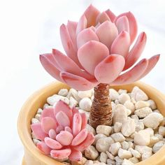 pink plants pink aesthetic colorful plants cacti cactus succulent plant gang plants at home living with plants baby plants baby plants pot baby plants Pink Succulent, Succulent Pots, Cacti And Succulents, Planting Succulents, Cactus Plants, Planting Flowers, Succulent Ideas, Propagate Succulents, Cactus Seeds