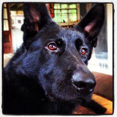 Black German Shepherd.... Beautiful eyes!!!