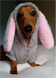Find cute and funny costumes for sausage dogs, make your sausage dog even more adorable when dressed in a cute dachshund costume. Dachshund Funny, Mini Dachshund, Dachshund Puppies, Weenie Dogs, Daschund, Doggies, Dachshund Costume, Dapple Dachshund, Funny Dogs