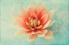 Dahlia Photograph, Coral on Mint, Soft Focus, French Country Home, Flower Photography, Floral Art Wall Decor. $25.00, via Etsy.