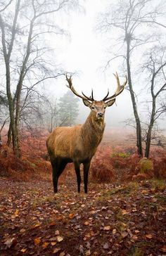 Beautiful Image Of Red Deer Stag In Forest Landscape Of Foggy