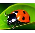 Amazon has 1500 Live Ladybugs - Good Bugs - Ladybugs  Price: $5.65 + $3.75 Shipping. Includes a Ladybug Educational Sheet with Release Tips, Release Rates, Ladybug Fun Facts and FAQ's Includes a Ladybug Life Cycle Poster and 1,500 Adult Pre-Fed Ladybugs Ladybugs Feed on a Variety of Slow-Moving Insects Including Aphids, Moth Eggs, Mites, Scales, Thrips, Leaf Hoppers, Mealybugs, Chinch Bugs, Asparagus Beetle Larvae, Whitefly and Others Ladybugs are Guaranteed with Live Delivery