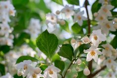 https://flic.kr/p/sySwJR | storax - えごのき | For these past several years, the tree of this park is transplanted many times. I am sorry that I cannot see the floral art that I expected. But I am looking forward to bloom here in the new flower. On May 8, 2015 in Inokashira park. ----- ここ数年、この公園の樹木は何度も植え替えられています。期待していた花が見れなくなったことは残念ですが、ここで新しい花を見ることが出来るのは楽しみです。 2015年5月8日、井の頭公園にて。