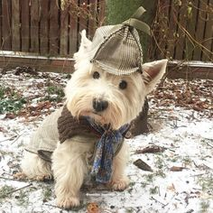 Is that Sherlock Holmes? What a sweetie! Westie Puppies, Westies, Cute Puppies, Dogs And Puppies, Doggies, Chihuahua Dogs, Animals And Pets, Baby Animals, Cute Animals