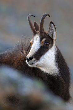 Chamois (Rupicapra rupicapra tatrica)