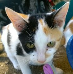 Krysta is a super sweet, mellow 3 month old mellow girl! She loves to snuggle and cuddle, and loves to ride around in my pocket! She loves to play, purr, and cuddle. She is used to being around other cats and dogs, and is very patient.Krysta is...