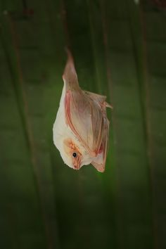 Albino Bat by howardignatius, via Flickr