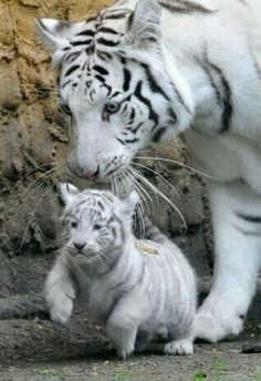 Mothers Love Baby White Tiger, White Tiger Cubs, White Tigers, White Lions, Cute Baby Animals, Animals And Pets, Funny Animals, Wild Animals, Funny Pets