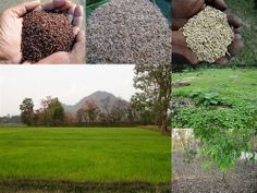 Validated and Potential Medicinal Rice Formulations for Diabetes Type 2 and Prostate Cancer Complications (TH Group-188) from Pankaj Oudhia's Medicinal Plant Database