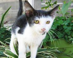Buttons-an-adoptable-kitten-in-Wisconsin
