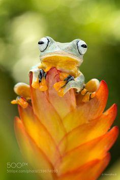 Flying Tree Frog by mariskab #nature #photooftheday #amazing #picoftheday
