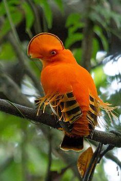 Gallito de las rocas guayanés (Rupicola rupicola). Es una especie de ave paseriforme de la familia Cotingidae que vive en el norte de Sudaméria.