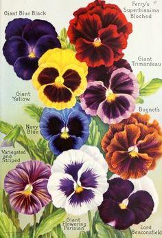 Garden design and practical tips with horned violets - Gartengestaltung Arrangements Ikebana, Vintage Seed Packets, Photo D Art, Seed Catalogs, One Stroke Painting, Flower Pictures, Flower Seeds, Art Floral, Vintage Flowers