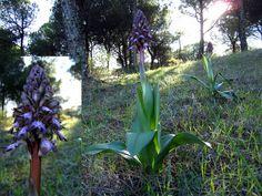 Orquídea Mayor. Antequera