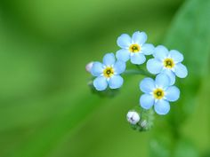 forget-me-nots would make a really cute tattoo....