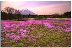 Fuji Shibazakura (Moss Pink) - The Fuji Shibazakura (Moss Pink) Festival @ Yamanashi Prefecture, Japan.