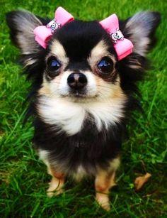 .Muñequita de Chihuahua!