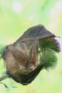 Great giant bat ears.  Bats use an echolocation system to emit sound that echoes back to them within a second obstacles ahead and their size.