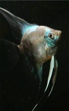 How To Have A Better Online Aquarium Shopping Experience Tetra Fish, Discus Fish, Fish Fish, Tropical Fish Aquarium, Freshwater Aquarium Fish, Beautiful Fish, Animals Beautiful, African Cichlids, Angel Fish