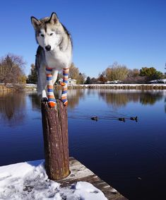"""#Husky  is a general name for a sled-type of #dog used in northern regions, differentiated from other sled-dog types by their fast pulling style. They are an ever-changing cross-breed of the fastest #dogs.The Alaskan Malamute, by contrast, is """"the largest and most powerful"""" sled #dog, and was used for heavier loads. #Huskies are used in sled #dog racing. In recent years, companies have been marketing tourist treks with #dog sledges for adventure travelers in snow regions as well.#Huskies are…"""