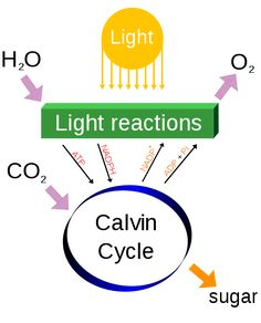 Photosynthesis biology 8 biology pinterest photosynthesis with this study guide this is a generalized diagram of the process of photosynthsis through which plants convert solar energy into chemical energy fandeluxe Image collections