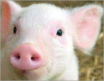 That's Wilbur the pig