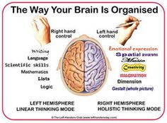 The brain is split into two symmetrical hemispheres. The left brain favors more rational, analytical thinking, & the right is more visually & conceptually oriented. They also work in opposites – you stub your left toe & the pain is processed on the right side. They put right-side-up whatever is upside-down –the image in your eyes is actually received inverted & the brain corrects it. REALLY weird: even if you were to lose one-half of your brain, you would be able to survive without it.